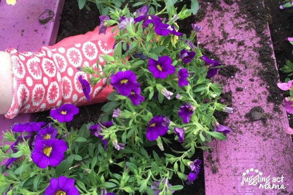 purple pallet planter with purple flowers coming out and a pink garden glove planting the flowers.
