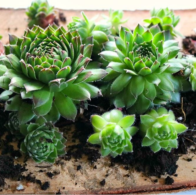 Close up image of succulents in soil