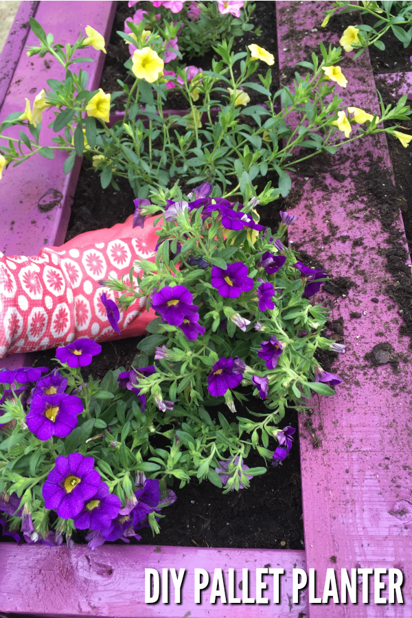 Purple pallet planter with purple and yellow flowers being planted with a pink garden glove.