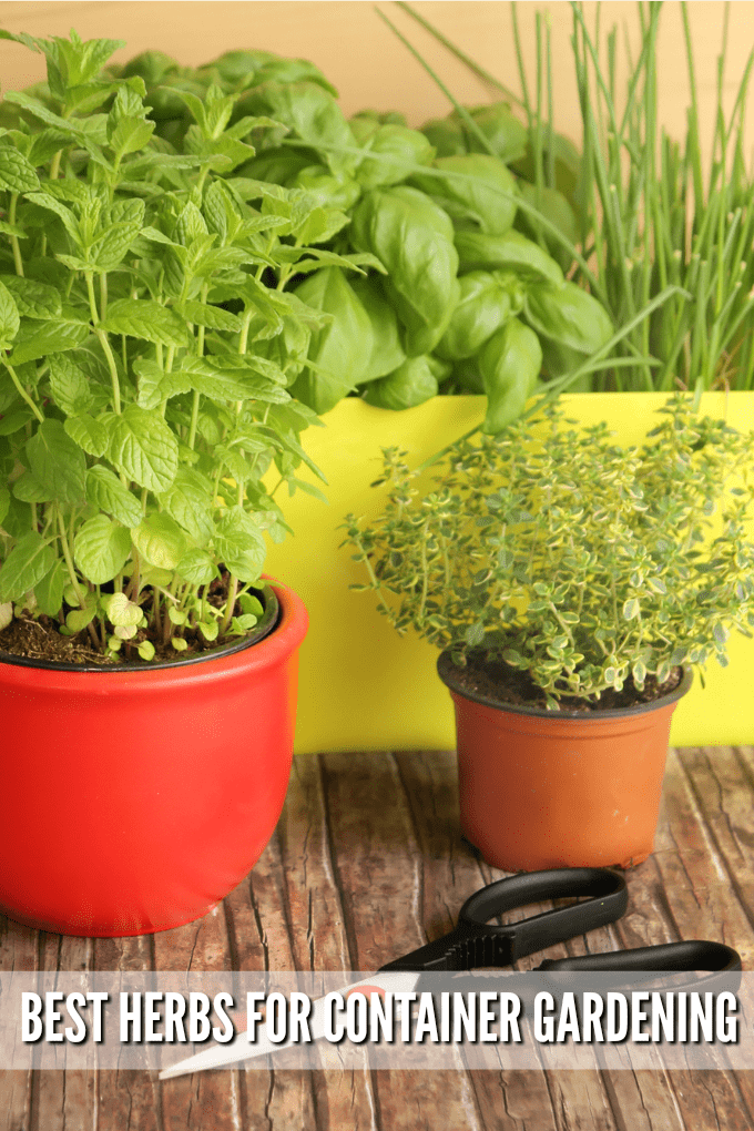 In a background, a yellow planter with basil and chive plants, with red and terra cotta pots in front with other herbs. A pair of gardenin scissors ont he wooden table.