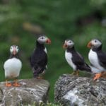 Atlantic Puffins in Maine