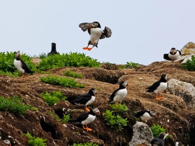 An Atlantic Puffin colony with many birds on Petit Manan in the Gulf of Maine