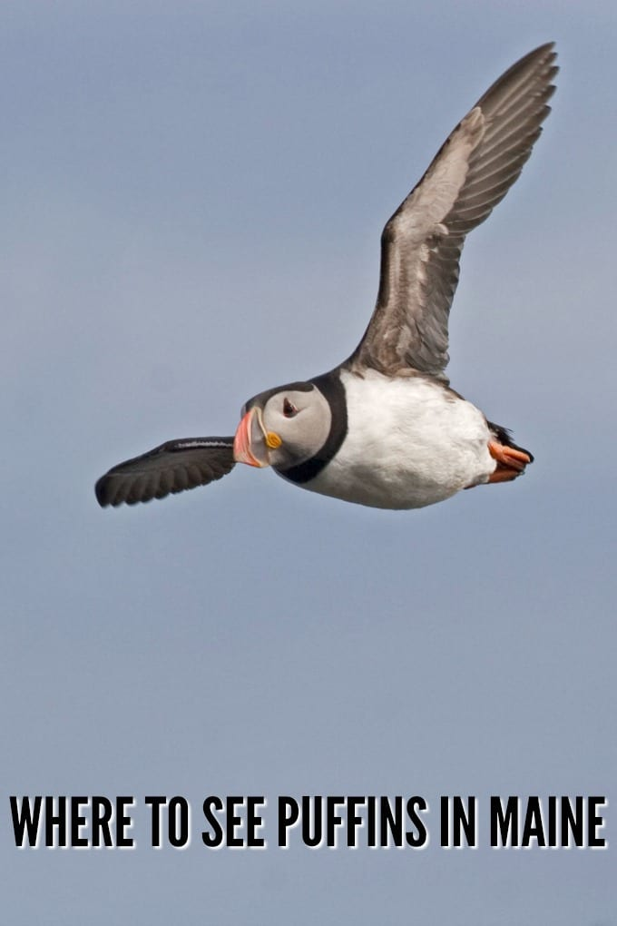 An Atlantic Puffin in flight