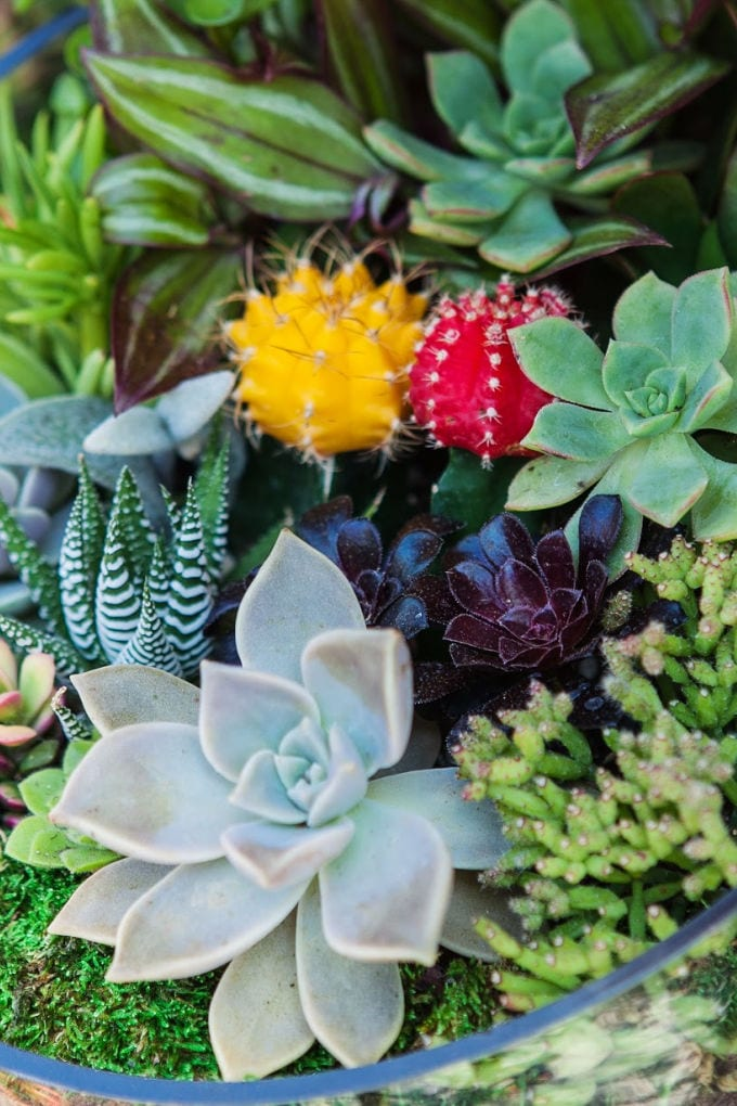 How to Make a Succulent Terrarium - close up of a terrarium with succulents and cactus plants