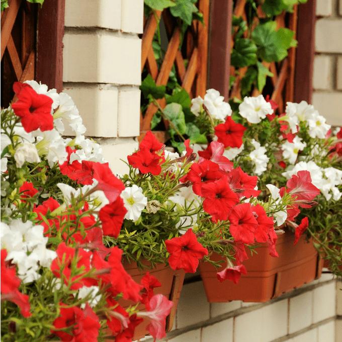 close up of terra cotta window boxes with red and white annual flowers.