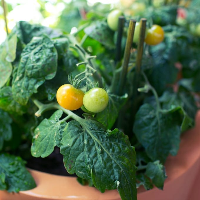 unripe cherry tomatoes growing in terra cotta pots