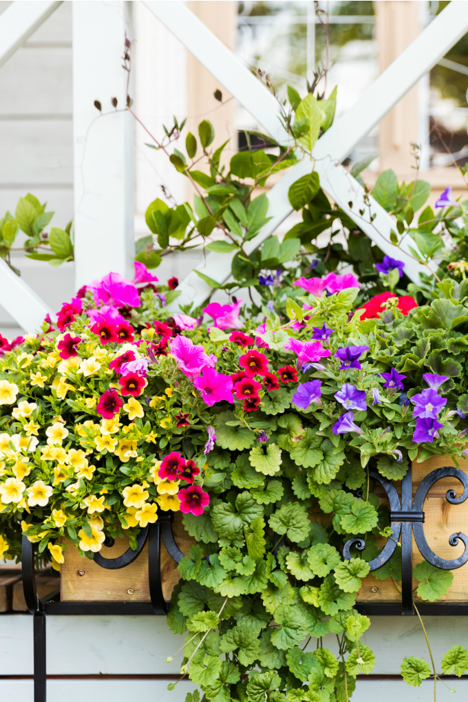close up of a wrought iron window box with various annual flowers including superbells and petunias.