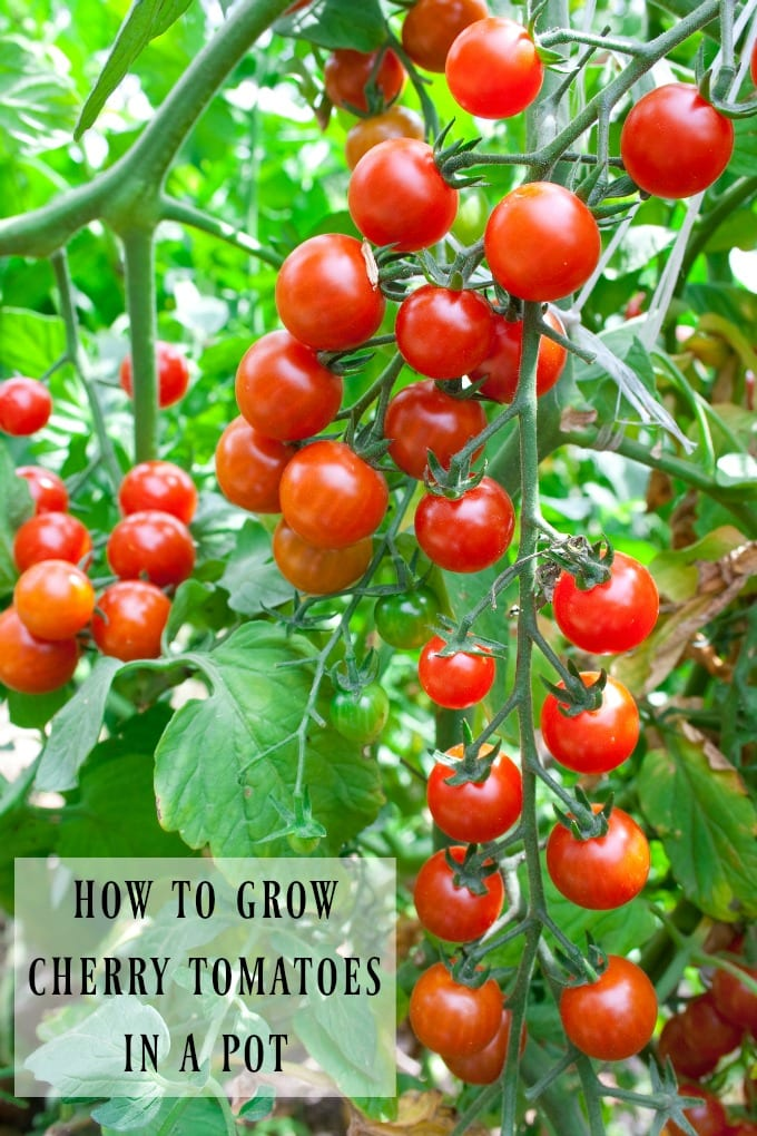 Growing cherry tomatoes in pots on your deck, porch, balcony, or patio couldn't be easier! We'll show you how to grow cherry tomatoes in a pot including choosing the right container. This post is full of tips for nurturing cherry tomato plants. via @jugglingactmama