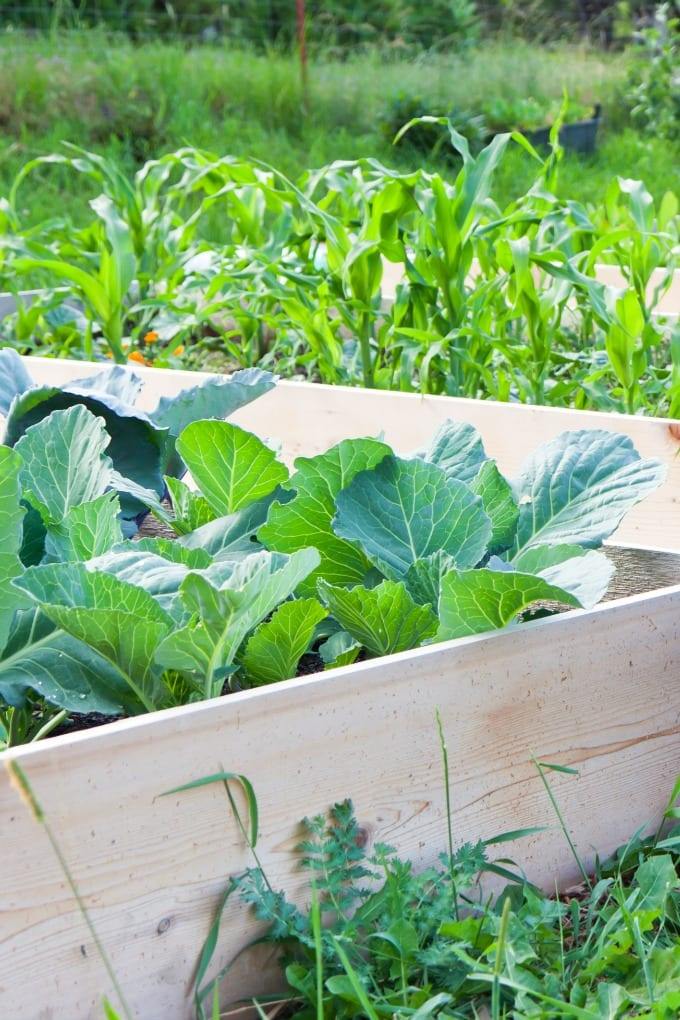 What to Plant in a Raised Garden Bed - two garden boxes planted with corn, cabbage and other vegetables.