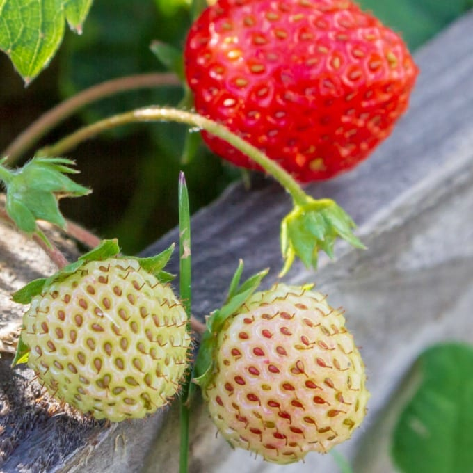 close up of a strawberry plant growing in a wooden window box.