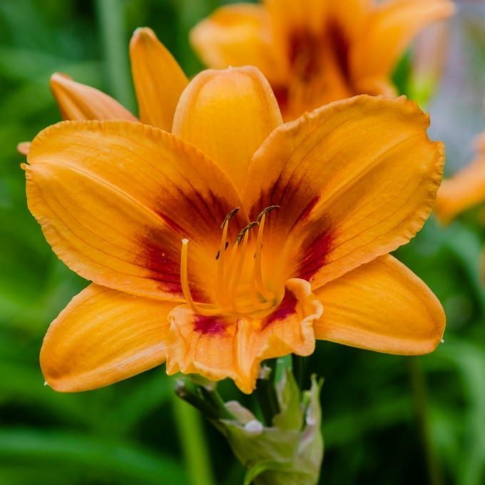 Close up of a daylily in the garden. Learn how to grow daylilies here.