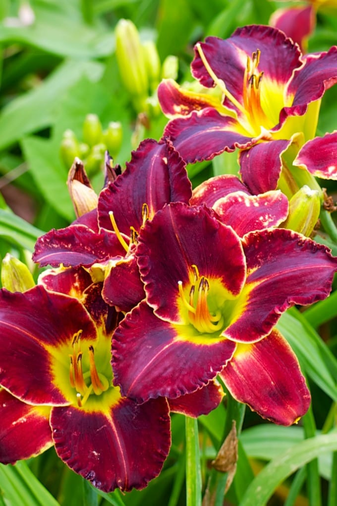 Daylilies can be used in many different ways throughout your garden, unlike other perennials. Here's a quick guide on how to grow daylilies this summer. via @jugglingactmama