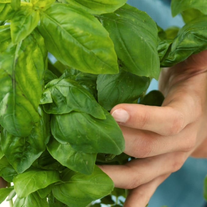 Close up of a female hand holding small basil plant.