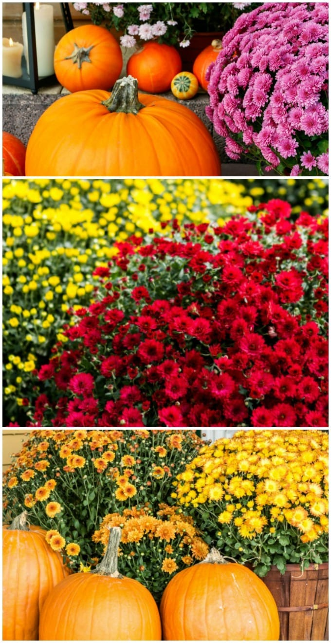 How to Grow Mums- Here is my complete guide for how to grow mums in your garden. Plus tips on how to decorate for Fall with them. via @jugglingactmama