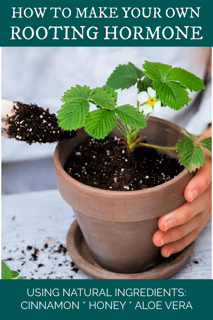Making your own homemade rooting hormone is easy and we'll show you how to do it using all-natural ingredients you might even already have on hand! via @jugglingactmama