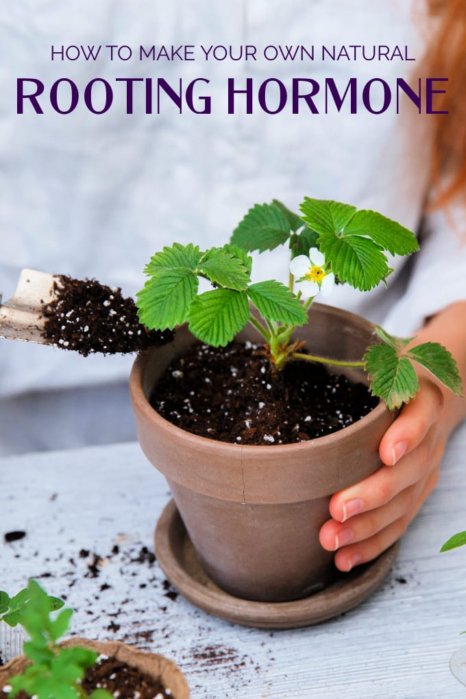 Homemade Rooting Hormone -  3 ways - close up of a strawberry plant in a terra cotta pot, a hand holds the pot while a small trowel adds soil