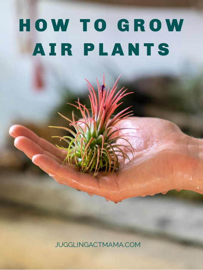 How to Grow Air Plants - These unique little plants are perfect for beginners because they don't require a lot of maintenance! Since they thrive with indirect sunlight, you can use them as part of your decor in many different areas. via @jugglingactmama
