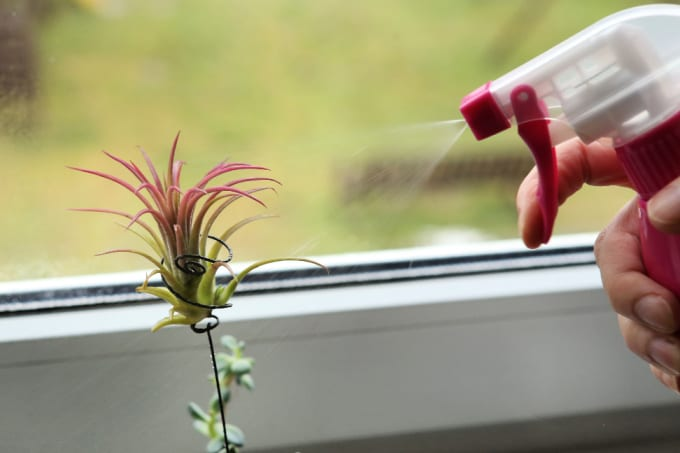 a hand uses a squirt bottle to mist an air plant