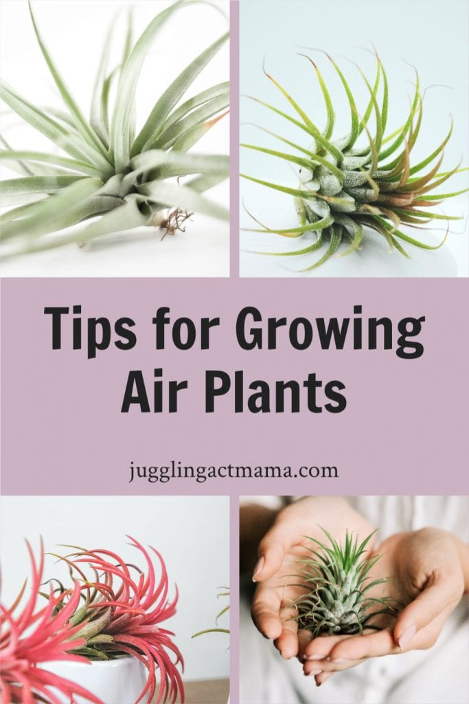 Tips for Growing Tillandsia Plants collage